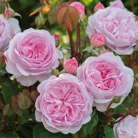 Роза Оливия роуз Остин