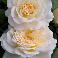 Роза Крим Эбандэнс