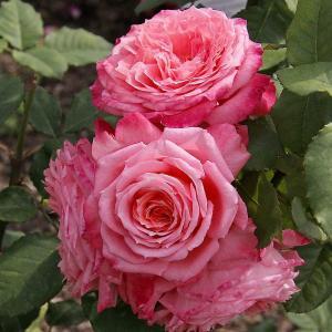 Роза Инститьют Люмьер