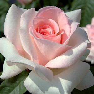 Роза плетистая Сван лейк