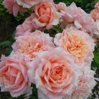 Розы Поль Бокус