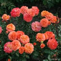 Роза Оранжери
