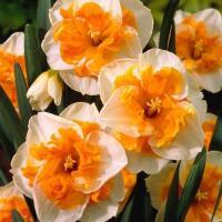 Нарцисс бабочковый  Лав Колл 5 шт