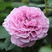 Роза Лавандер Айс