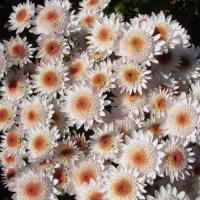 Хризантема корейская Капучино