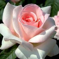 Роза Принц Жарден