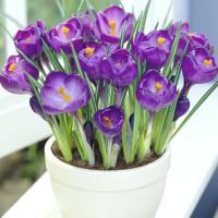 Крокус крупноцветковый Ремембранс