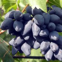 Виноград сверхранний Ромбик