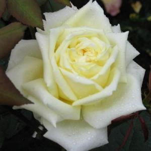 Роза Жан Моро
