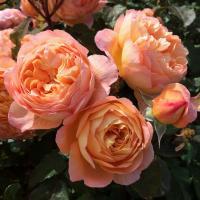 Роза английская Леди Эмма Гамильтон