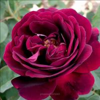 Роза плетистая Сувенир дю доктёр Жамэн