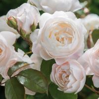 Роза Дездемона