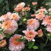 Хризантема корейская Розолинда