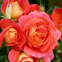 Роза Братья Грим
