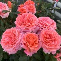 Роза Альбрехт Дюрер
