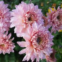 Хризантема корейская Розовый Фламинго