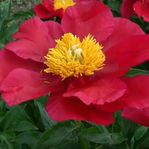 Пион молочноцветковый Америка