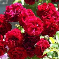 Роза Эрфордия