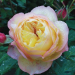 Роза Надья  Мейяндекор