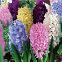 Гиацинты садовые смесь 6  шт