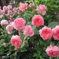 Роза Ля роз де Молинар