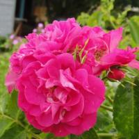 Томат Деревенский