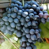 Виноград ультраранний Шарада UA