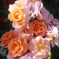 Роза Вместе навсегда