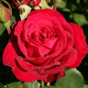 Роза Штёртебекер