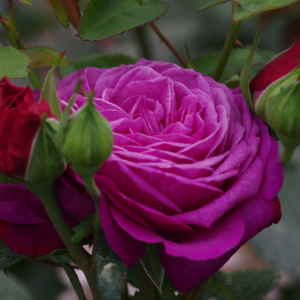 Роза миниатюрная Хайди Клум Розе
