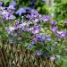 Клематис мелкоцветковый Арабелла