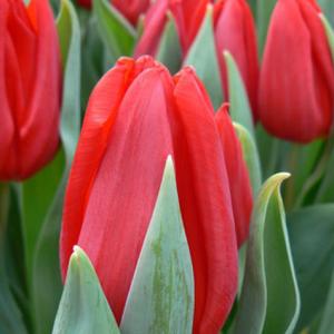 Тюльпан простой ранний Ред Рививал 5  шт