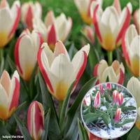 Тюльпан ботанический  Зе ферст 8 шт