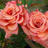 Роза Энн Хендерсон