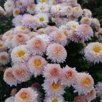 Хризантема корейская Мадам Шер