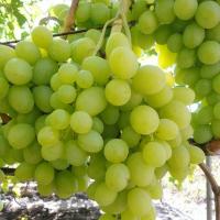 Виноград ультрараний Валек