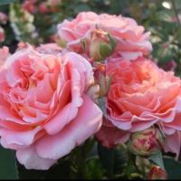 Роза Нотердам де Розале