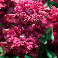 Клематис фиолетовый  Пурпуреа Плена