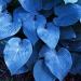 Хоста голубая Халцион