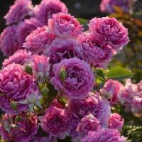 Роза японская Шахеризада