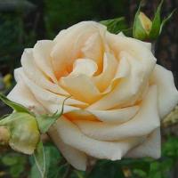 Роза Осеана