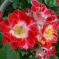 Роза миниатюрная Литл Артист