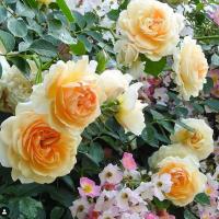 Роза Пегесес