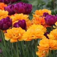 Тюльпан махровый ранний Монте Оранж 5 шт