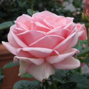 Роза Куин Элизабет