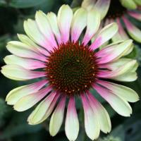 Роза японская Дафна