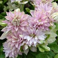 Клематис крупноцветковый Дансинг Смайл