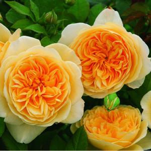 Роза Тизинг Джорджиа
