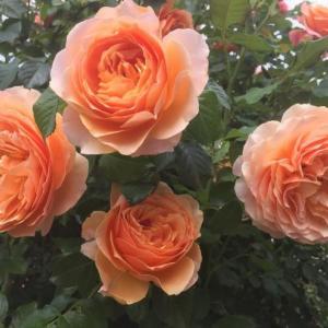 Роза Шерлок Шолмс