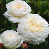 Роза Транквилити